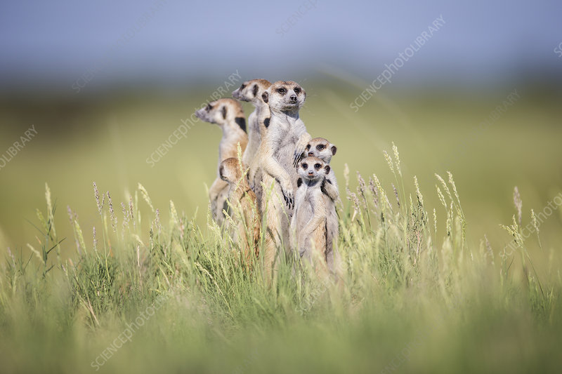 Meerkat group standing alert, Makgadikgadi Pans, Botswana