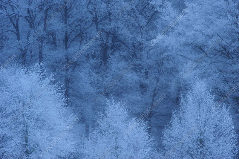 Mixed forest with hoar frost, Neubrandenburg, Germany