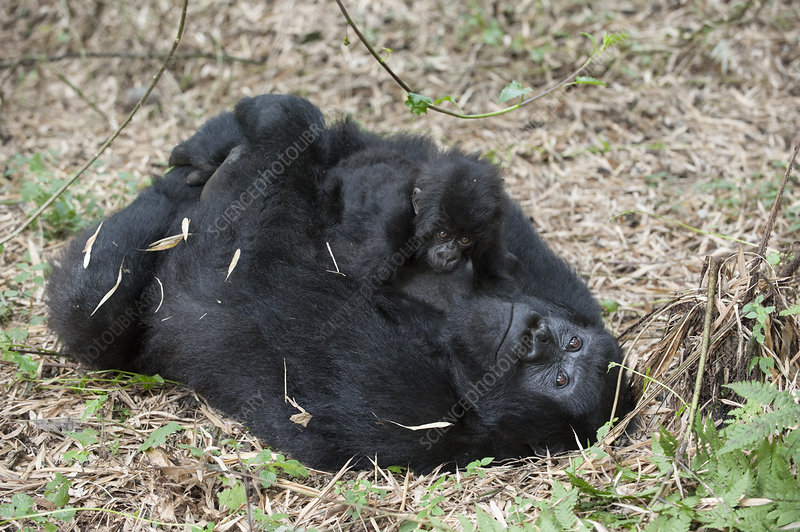 Mountain Gorilla mother lying on back and holding baby