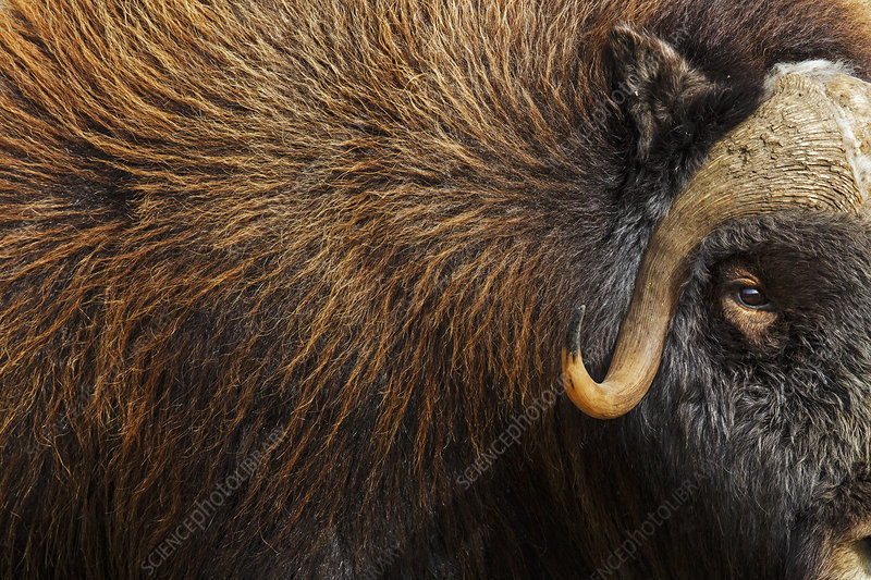 Musk ox close up, Norway, September