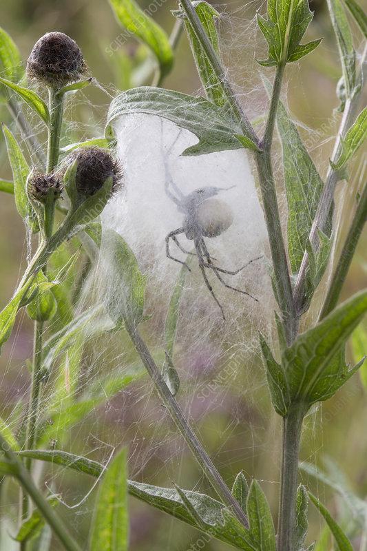 Nursery Web Spider mother in nursery web in meadow