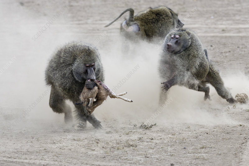 Olive baboon males fighting over newborn Thomson's gazelle