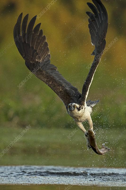 Osprey catching trout, Scotland, UK, July