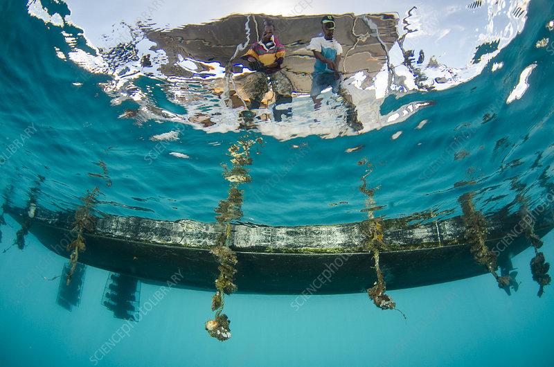 Pearl farming lines underwater, Fiji