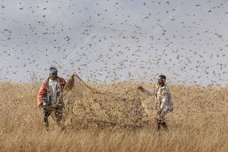 People catching Migratory locusts for human consumption