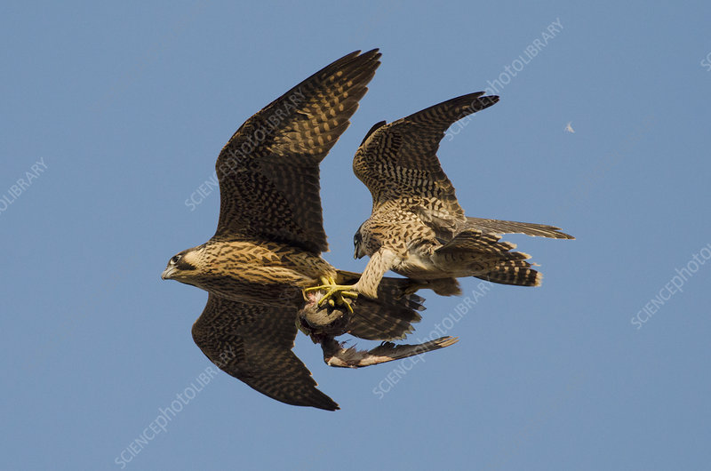 Peregrine falcons juvenile female and male in flight