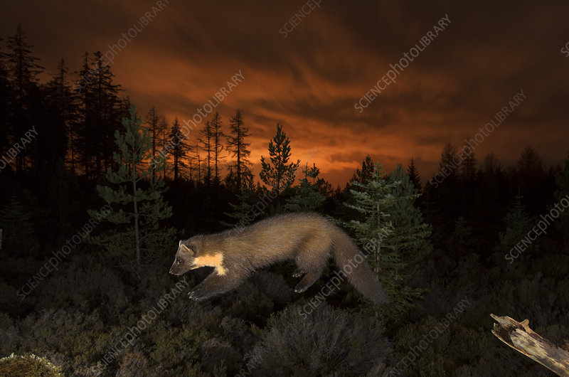 Pine marten leaping from branch