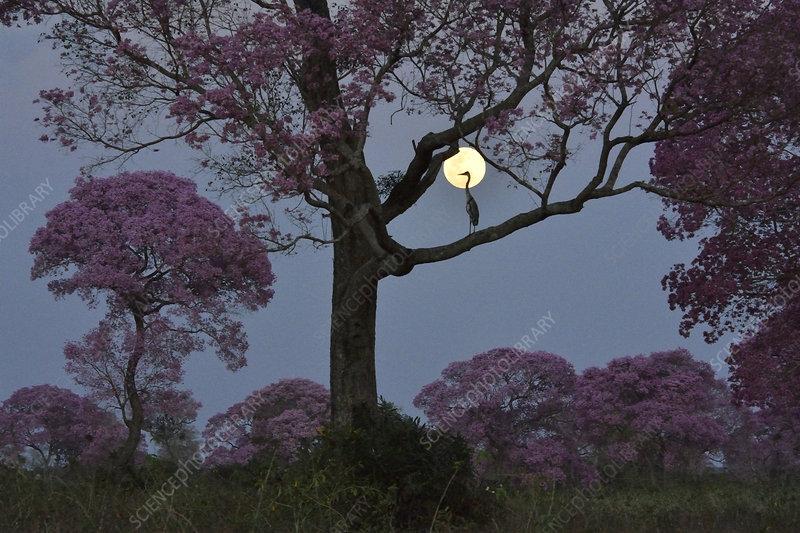 Pink Ipe tree (Tabebuia ipe) in flower