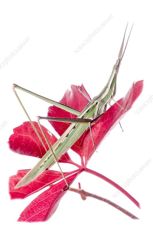 Pointed-nose grasshopper on flower, Orvieto, Umbria, Italy