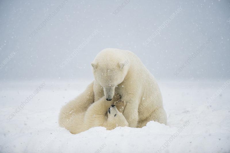 Polar bear sow with spring cub