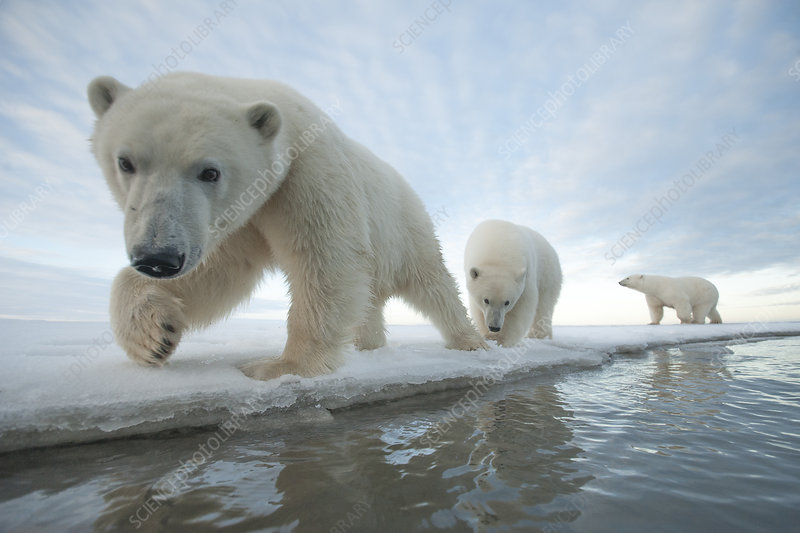 Polar bear sow with two juveniles