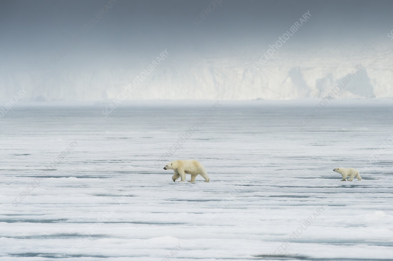 Polar bear with cub in front of glacier