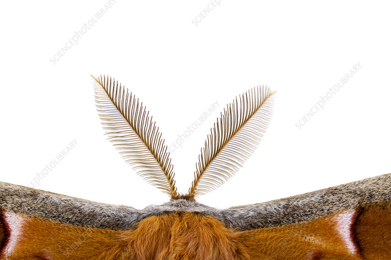 Polyphemus Moth bipectinate antenna
