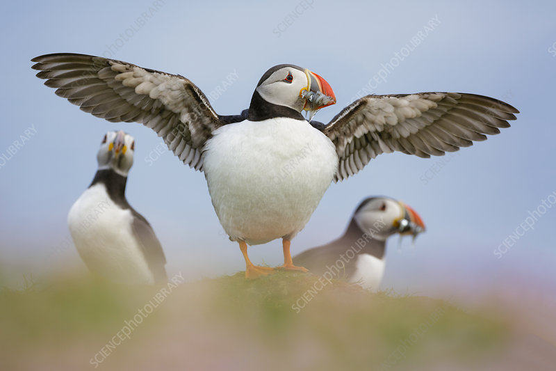 Puffin standing on Sea thrift with wings outstretched