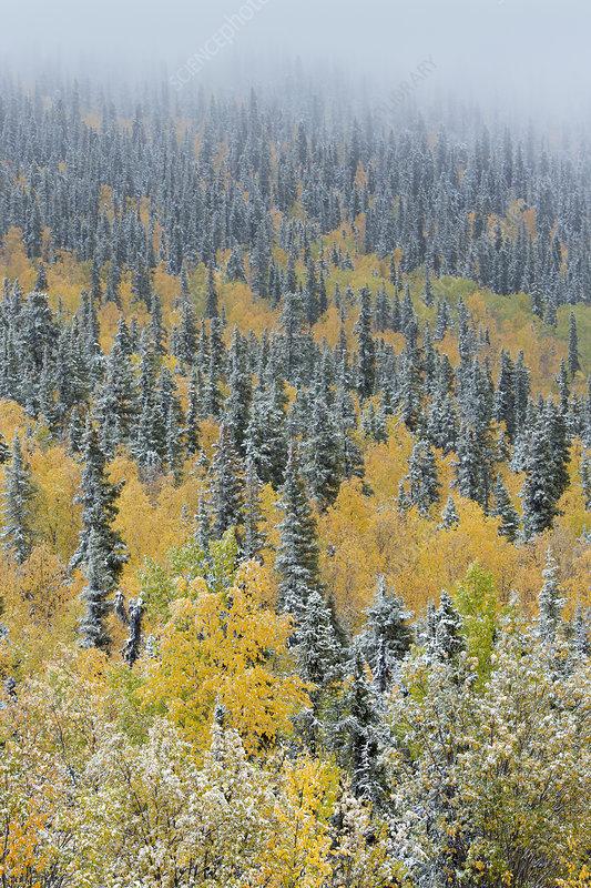 Quaking aspen trees (Populus tremuloides) and conifers