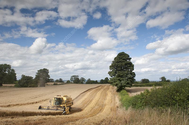 Combine harvester harvesting Oats (Avena sativa)