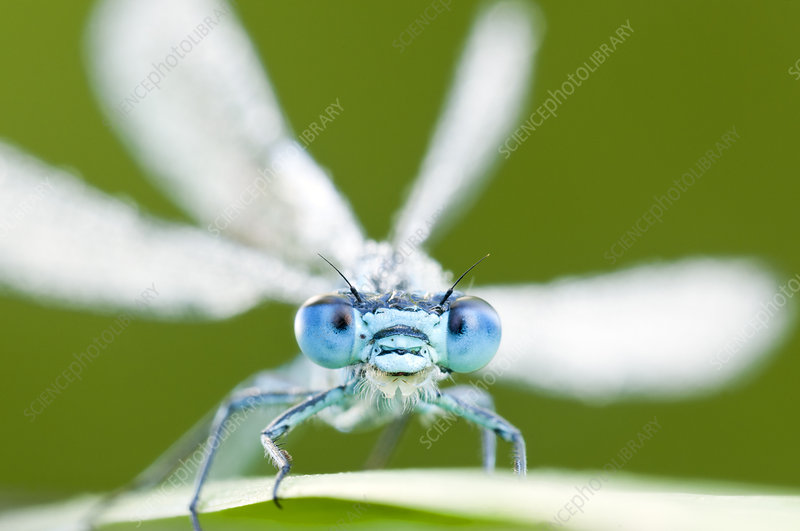 Common blue damselfly, Tamar Lake, Cornwall, England, UK