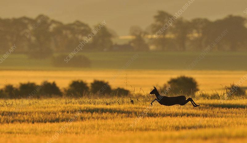 Roe Deer doe running in a field of barley