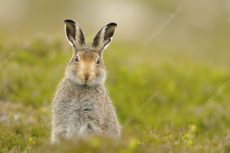 Mountain hare sub-adult leveret