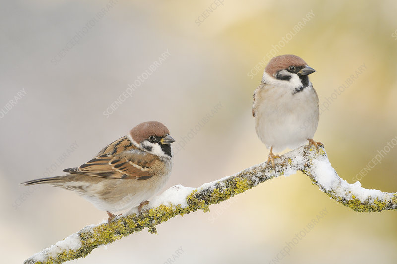 Two Tree sparrows perched on a snow covered branch