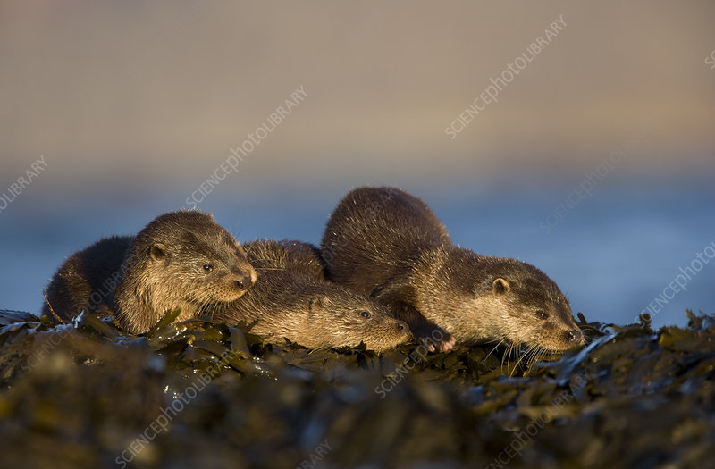 Three European river otters resting on seaweed