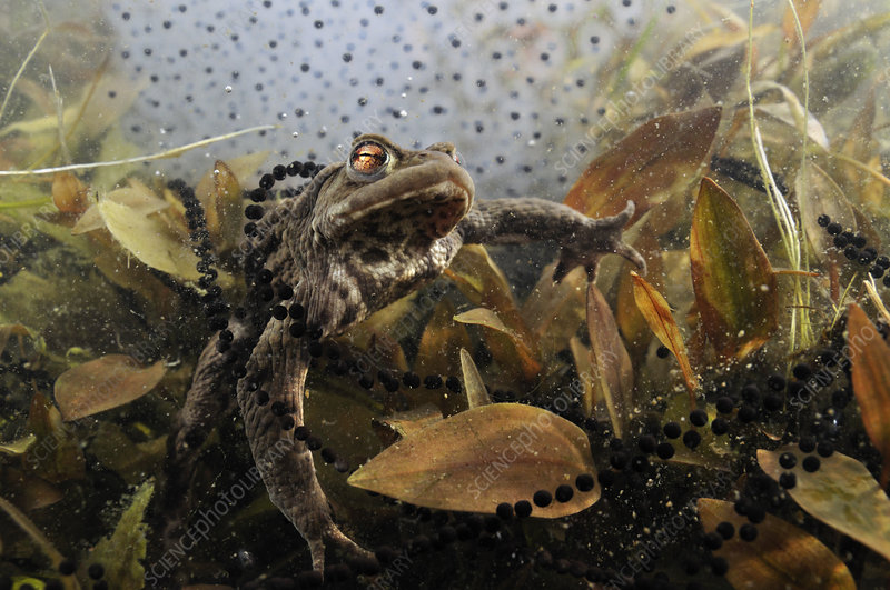 Common toad in a pond, with toad spawn and frogspawn