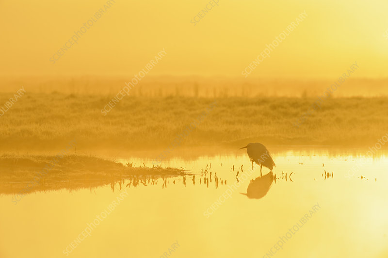Little Egret at dawn, Elmley Nature Reserve, Kent, UK