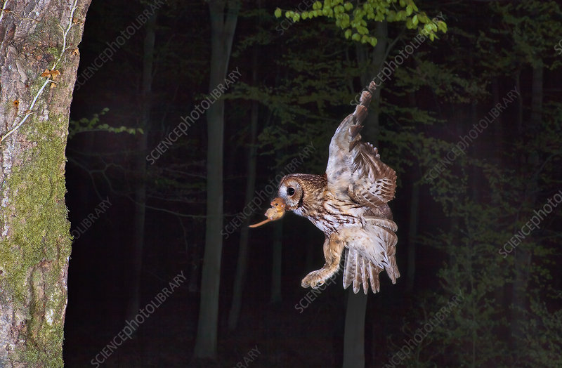 Tawny owl flying with Dormouse prey to nest, Sussex, UK