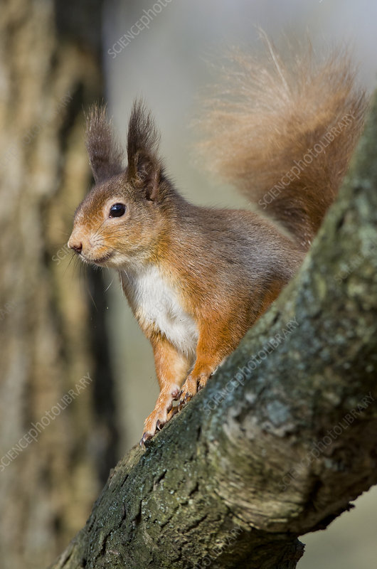 Red squirrel on branch in morning sun