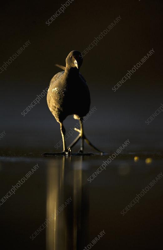Moorhen adult walking on frozen lake at dusk