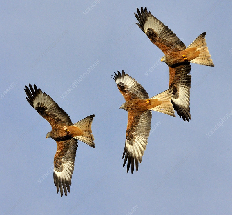 Three Red Kites chasing each other in flight, Wales, UK