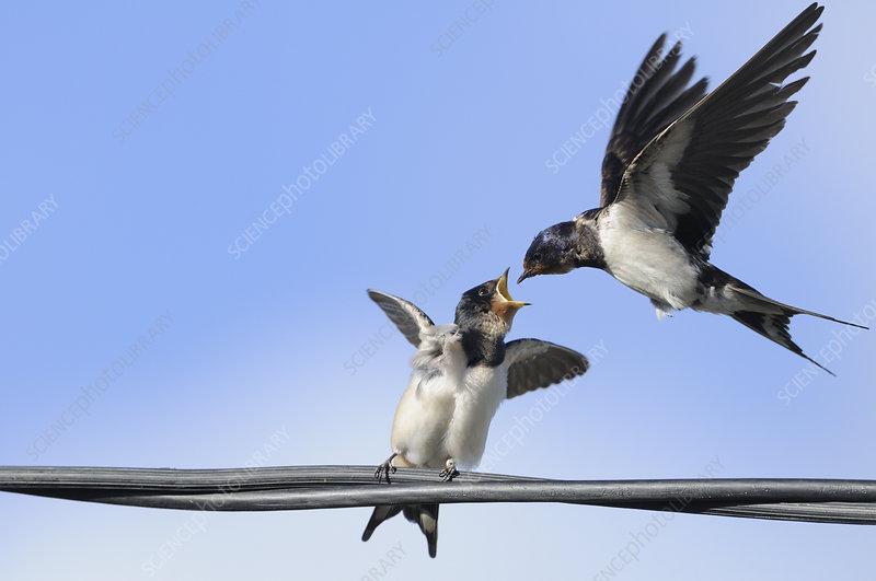 Barn Swallow feeding a fledgling on a wire