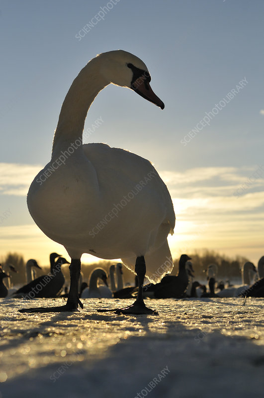 Mute Swan standing on ice at sunrise