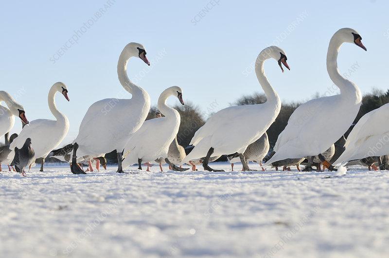 Mute Swan group walking on ice at sunrise