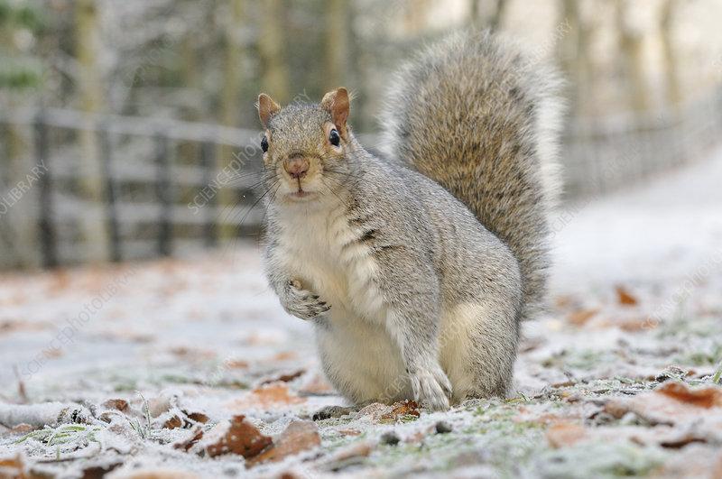 Grey Squirrel in urban park in winter