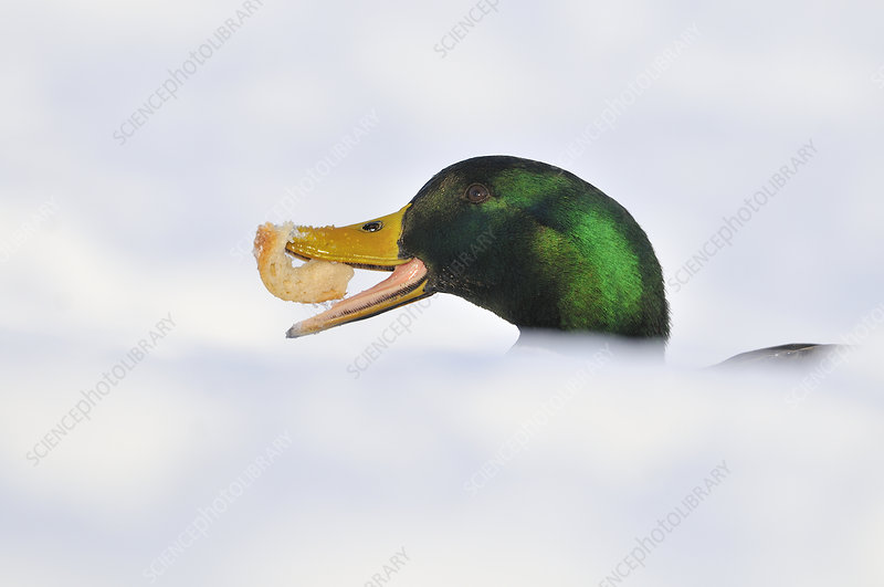 Mallard Duck with bread in snow
