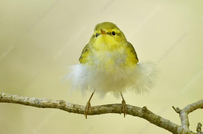Wood Warbler juvenile