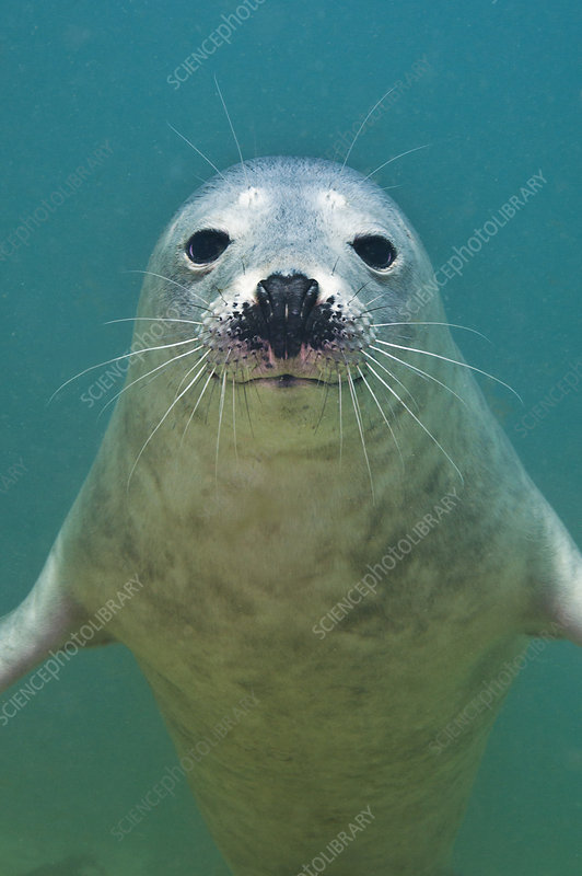 Portrait of a young Grey seal
