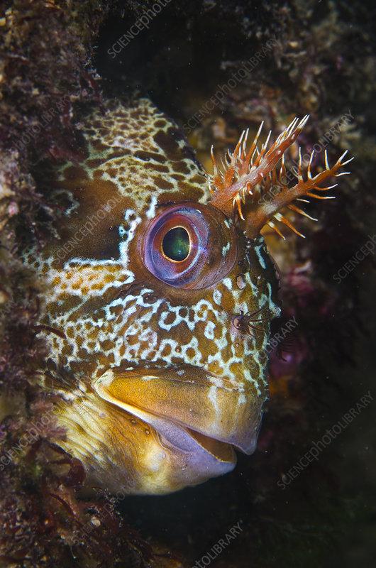 Tompot blenny beneath Swanage Pier, Dorset, UK