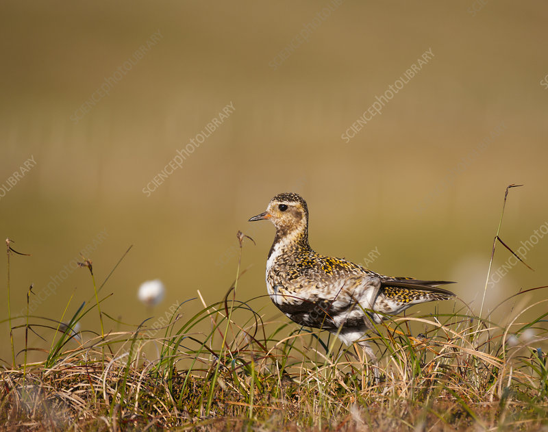 Golden plover adult on open moorland breeding plumage