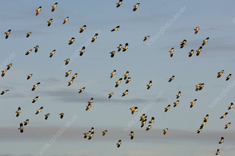 Flock of Lapwing in flight