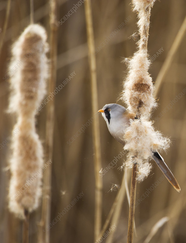 Bearded tit adult male perched on Bullrush