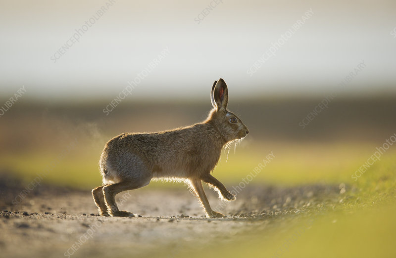 European brown hare adult male pursuing a female