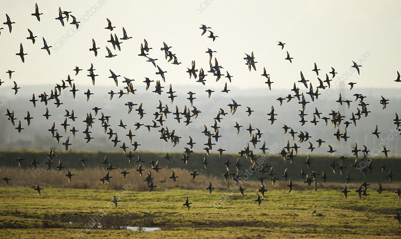 Flock of European wigeon in flight