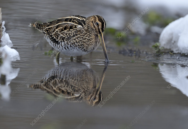 Common snipe feeding in shallow water in snow, Wales, UK