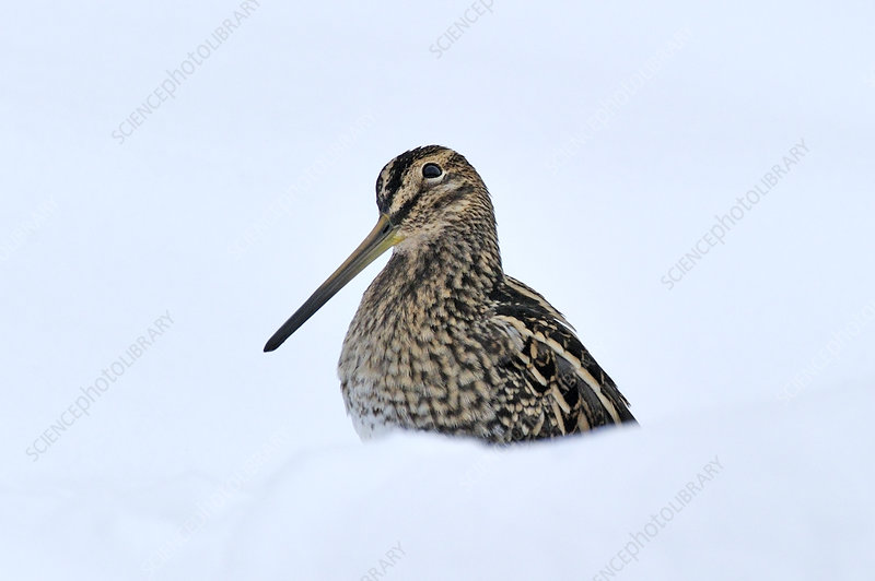 Common snipe in snow, Wales, UK