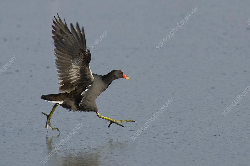 Moorhen running on a frozen lagoon