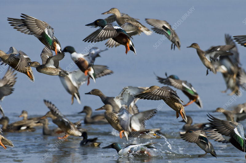 Mixed flock of Northern shovelers, Gadwalls and Common teal