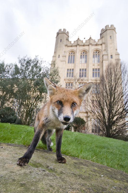 Young Red fox in urban park, Bristol, UK, January