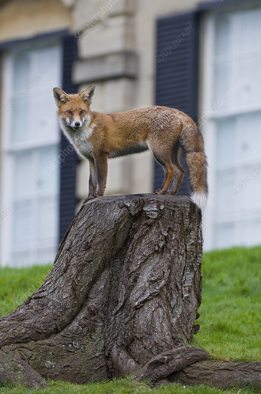 Young Red fox standing on tree stump in garden, Bristol, UK